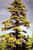 Michigan State Tree White Pine