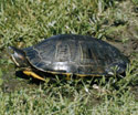 Michigan State Reptile Painted Turtle